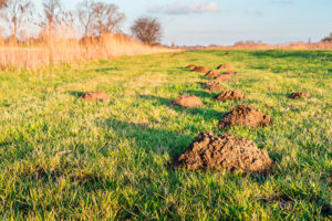 Muldvarpebekæmpelse der virker